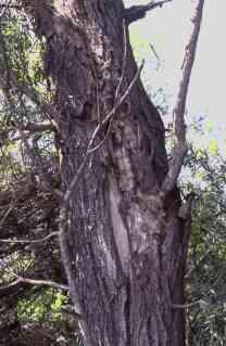 L'écorce décollée de ce vieux saule abrite des pipistrelles de nathusius.