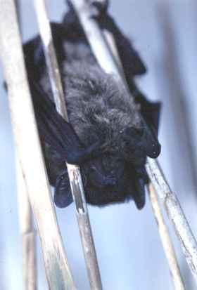 Pipistrelle endormie dans les roseaux de l'étang de Bolmon (13) (Photo Patrice Lafont)